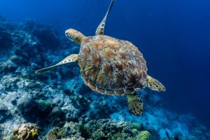Lifespan of a Turtle – How Long Can a Turtle Living Without Us?